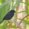 Variable Seedeater - hicksii ssp