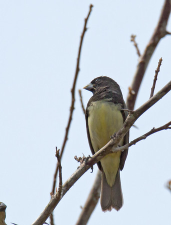 Sporophila nigricollis - Yellow-bellied Seedeater