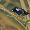 White-shouldered Tanager - panamensis ssp - male