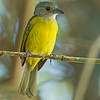 White-shouldered Tanager - panamensis ssp - female