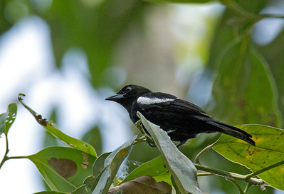 Tachyphonus luctuosus - White-shouldered Tanager