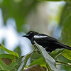 White-shouldered Tanager - panamensis ssp