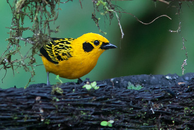 Tangara arthus - Golden Tanager