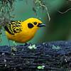 Golden Tanager - goodsoni ssp