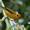 Golden Tanager - goodsoni