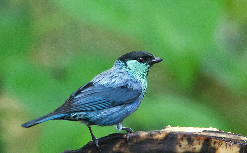 Black-capped Tanager - male