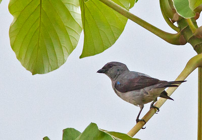 Tangara inornata - Plain-colored Tanager