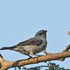 Plain-colored Tanager - languens ssp