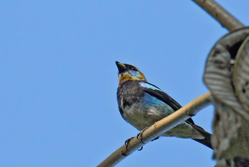 Golden-hooded Tanager - fanny ssp
