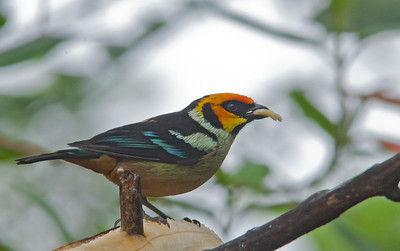 Tangara parzudakii - Flame-faced Tanager