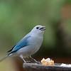 Blue-grey Tanager - cana ssp