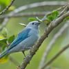Blue-grey Tanager - coelestis ssp