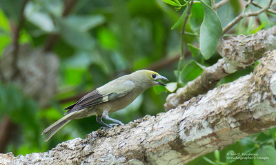 Thraupis palmarum - Palm Tanager
