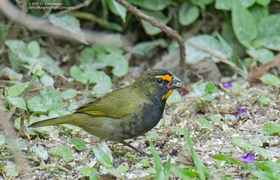 Tiaris olivaceus - Yellow-faced Grassquit