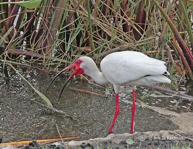 Eudocimus albus - American White Ibis