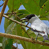 Black-crowned Tityra - albitorques ssp