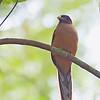 Philippine Trogon - ardens ssp