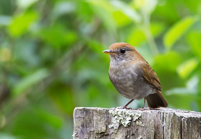 Catharus frantzii - Ruddy-capped Nightingale-thrush