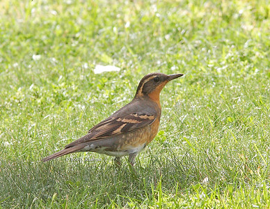 Ixoreus naevius - Varied Thrush