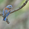 Western Bluebird - occidentalis ssp