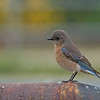 Western Bluebird - occidentalis ssp - female