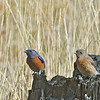 Western Bluebirds - occidentalis ssp