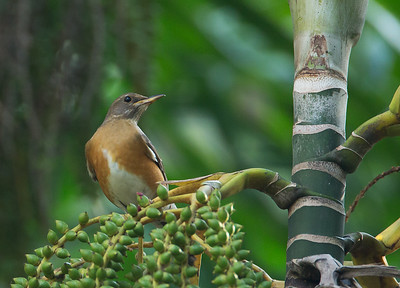 Turdus chrysolaus - Brown-headed Thrush