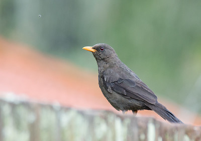 Turdus fuscater - Great Thrush