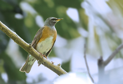 Turdus obscurus - Eyebrowed Thrush