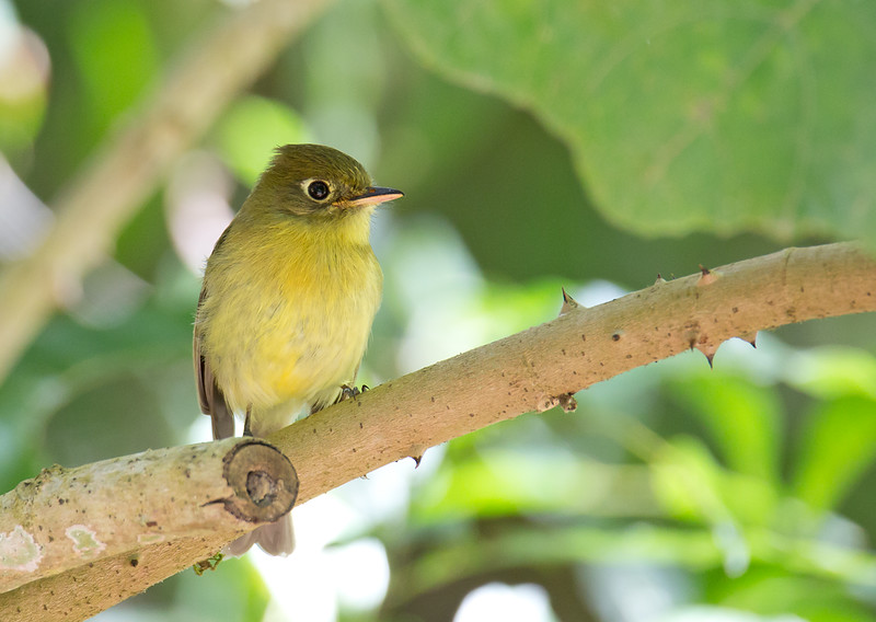 Yellowish Flycatcher - flavescens ssp