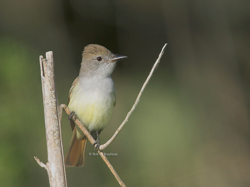 Ash-throated Flycatcher - cinerascens ssp