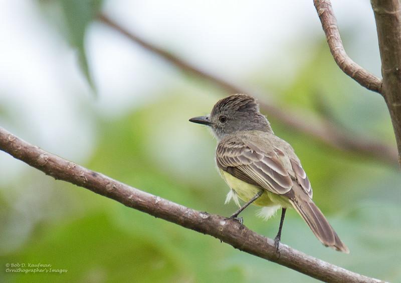 Panamanian Flycatcher - panamensis ssp