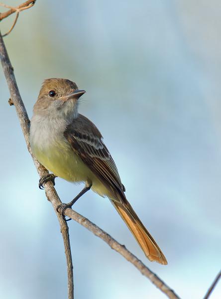 Dusky-capped Flycatcher - littoralis ssp