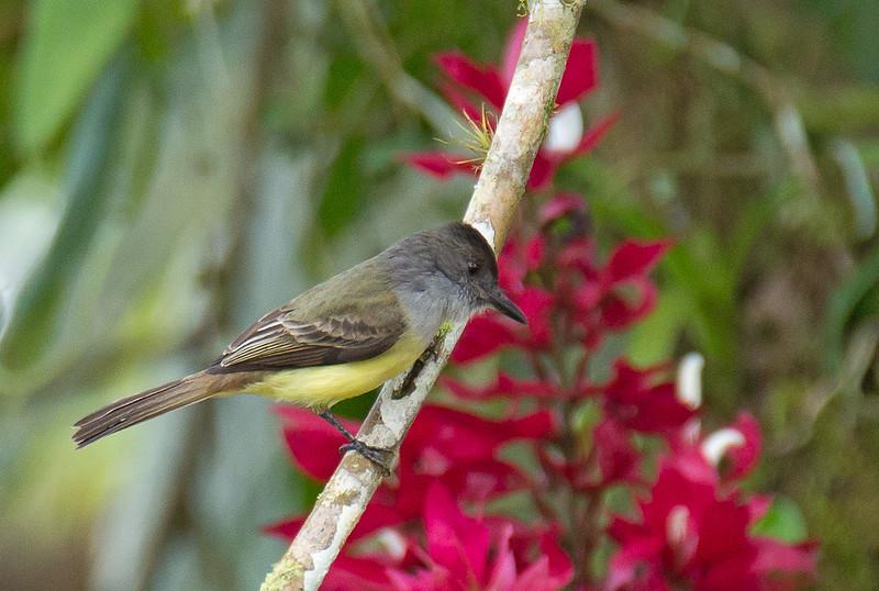 Dusky-capped Flycatcher - nigriceps ssp