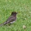 Black Phoebe - semiater ssp