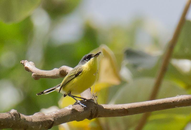 Common Tody-flycatcher - wetmorei ssp