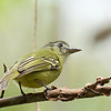 Yellow-olive Flatbill - flavoolivaceus ssp