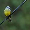 Tropical Kingbird - satrapa ssp