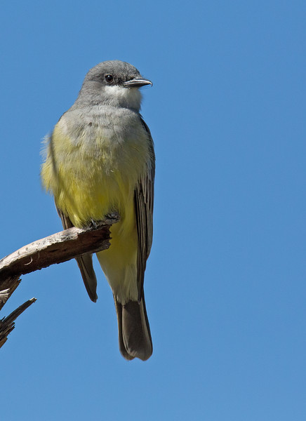 Cassin's Kingbird - vociferans ssp