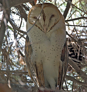 Tytonidae - Barn Owls