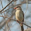Pin-tailed Whydah - female