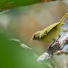 Lesser Greenlet - decurtatus ssp
