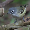 Blue-headed Vireo - solitarius ssp