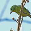 Green Shrike-vireo - viridiceps ssp