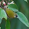 Black-capped White-eye - atricapilla ssp