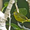 Yellowish White-eye - luzonicus ssp