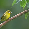 Yellowish White-eye - luzonicus ssp