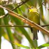 Yellowish White-eye - nigrorum ssp