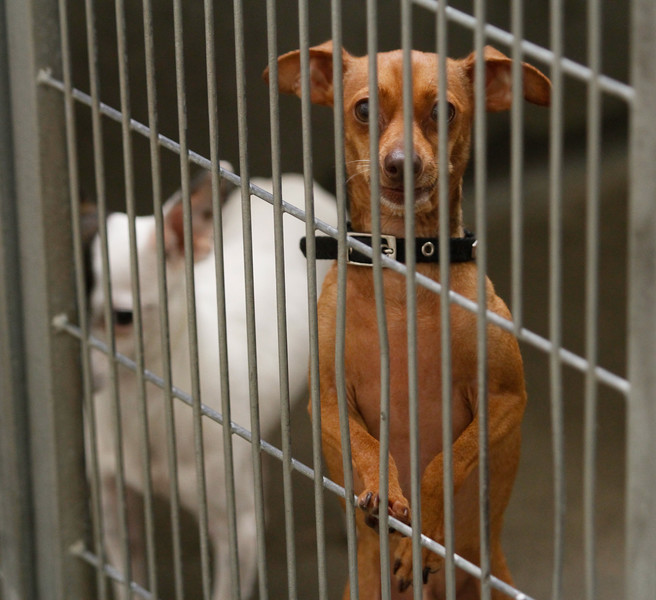 Many animals went missing in Oroville following Fourth of July fireworks July 6, 2017 at the Northwest SPCA in Oroville, California.  (Emily Bertolino -- Mercury Register)