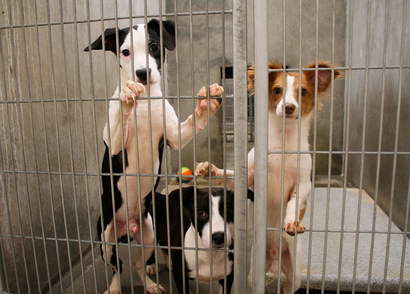 Puppies peek through their cage at the Northwest SPCA Thursday July 6, 2017  in Oroville, California.  (Emily Bertolino -- Mercury-Register)